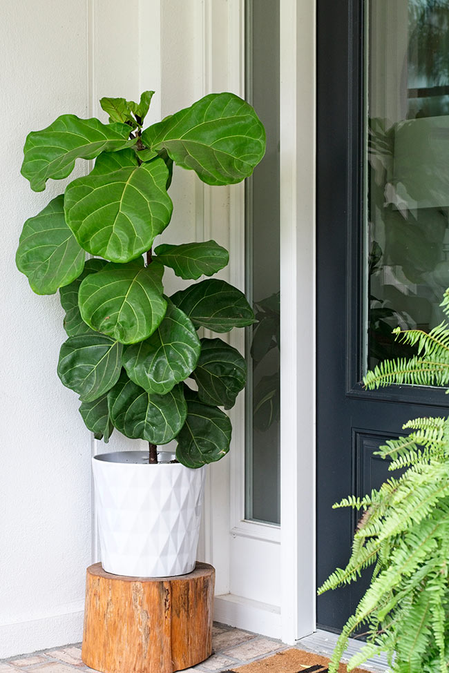 THE DIFFERENT STAGES OF MAKING YOUR OWN BABY FIDDLE LEAF FIG TREES